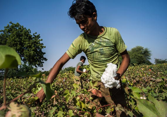 Cotton crop estimated at 381 lakh bales for 2013-14