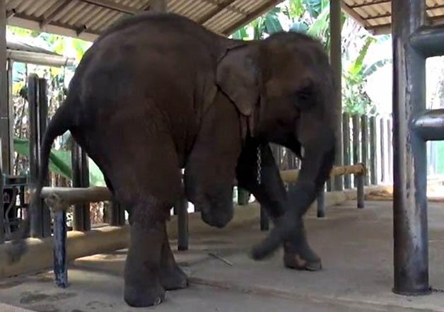 elephant with prosthetic legs 1
