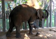 Watch how this 3-legged baby elephant enjoys walking on her new prosthetic leg!
