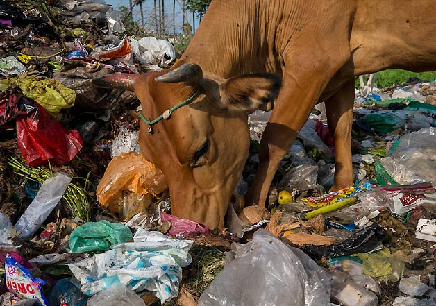 Plastic garbage removed from stomach of cow and bull in india indiatv news - Rd wastebasket ...