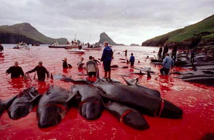 Dolphins Massacred Annually In Bloody Rites Of Passage To Adulthood