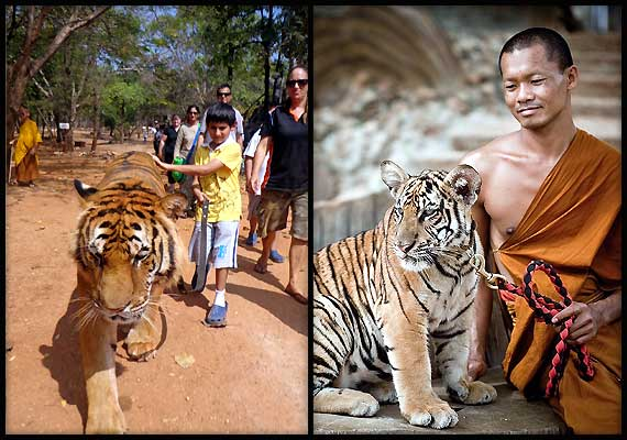 In Thailand, a close encounter with tigers (see pics)