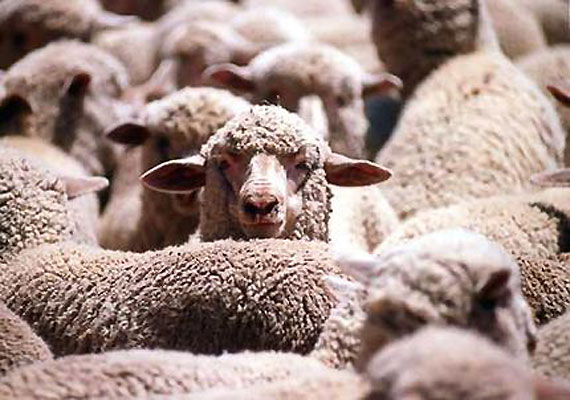 Importer in Pakistan seeks to stop culling of 20,000 Australian sheep