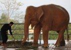 Myanmar captures 9th rare white elephant