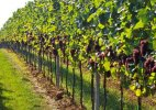 French champagne vineyards added to UNESCO's World Heritage Sites