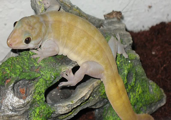 A Golden Gecko recovered from traders in Assam