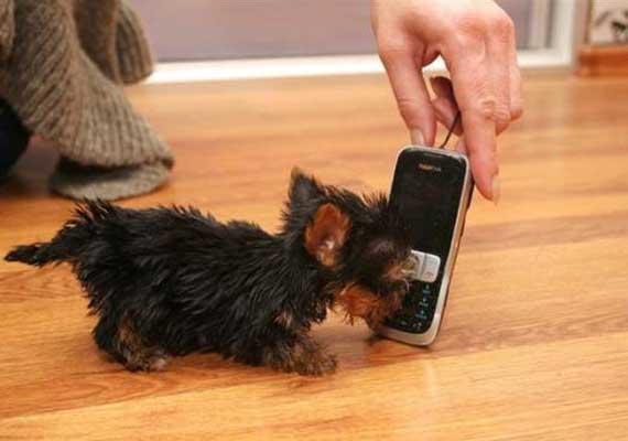 World's smallest dog, smaller than a cellphone