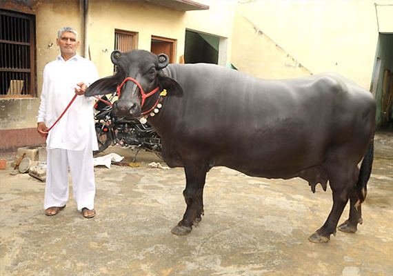 Believe it or not, this buffalo was sold for Rs 25 lakh