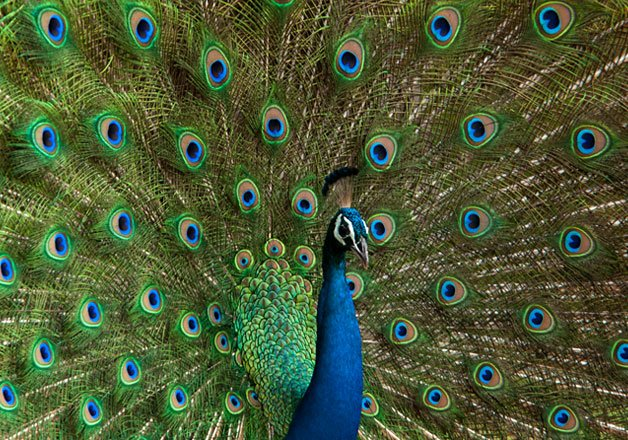 India s national bird peacock could be termed vermin in goa