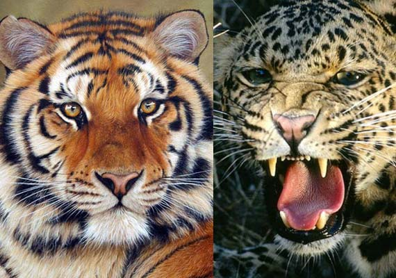 Tigers, leopards can be killed if they threaten humans: National Tiger Conservation Authority