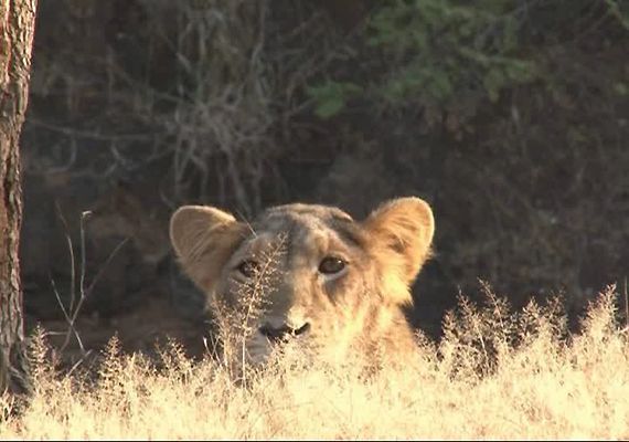 Unique Behaviour Seen Among Lions In Gir Sanctuary