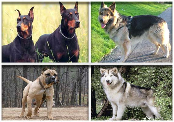 World's 8 most ferocious dogs