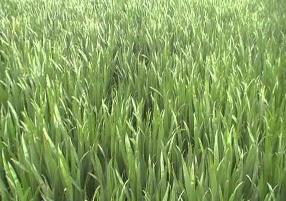 Yellow, brown rust attack wheat in Punjab, Haryana