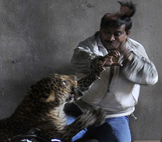 Stray Leopard Caught In Guwahati One Injured