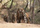 Sariska scores over Ranthambore in tiger preservation