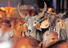 Beef Ban: After Maharashtra, Goa too faces beef dries