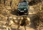 Government decides to reduce lion safaris at Gir National Park