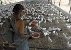 Chicken prices up 30% as heat wave kills 2.4 crore birds in India