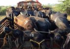 Haryana Police kill cow smuggler in encounter injure another