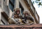 Monkeys behaved peculiarly ahead of quake: Animal lover