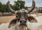 Missed call campaign to make cow 'Rashtra Mata'