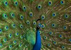 National bird Peacock could be termed vermin in Goa