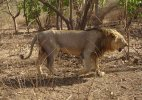 'Lion' to replace 'Tiger' as national animal&#63