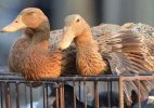 Bird Flu in Manipur, culling of fowl starts