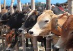 JD(U) calls for anti cow slaughter legislation